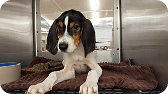 Coonhound (Unknown Type)/Beagle Mix Dog for adoption in St John, Indiana - Ali
