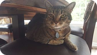 Domestic Shorthair Cat for adoption in Waldorf, Maryland - Thunder