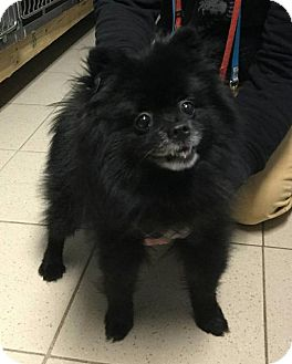 Pomeranian Dog for adoption in Freeport, New York - Onyx