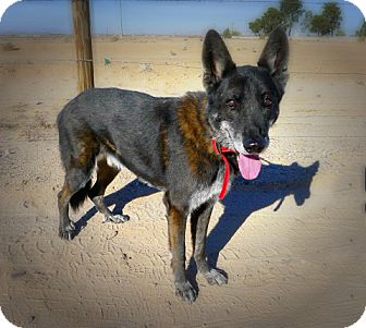 Shepherd (Unknown Type) Mix Dog for adoption in Casa Grande, Arizona - Papa Pax