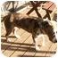 Photo 3 - American Bulldog Dog for adoption in Graham, Washington - Boone