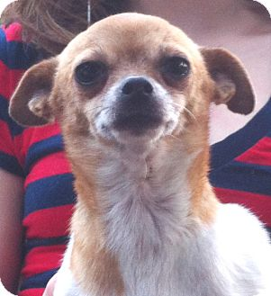 Chihuahua Dog for adoption in Orlando, Florida - Delta
