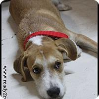 Adopt A Pet :: Yogi - Rockwall, TX