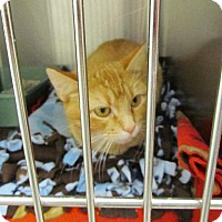 Manx Cat for adoption in Grand Junction, Colorado - Miss Crabby
