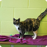 Calico Cat for adoption in Dublin, Virginia - Piper