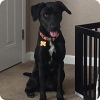 Adopt A Pet :: Sienna - Sunnyvale, CA
