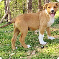 Adopt A Pet :: Budky Brown - Melbourne, AR