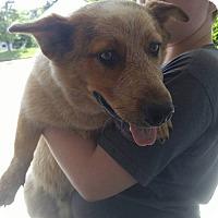 Adopt A Pet :: Jarvis - Lebanon, CT