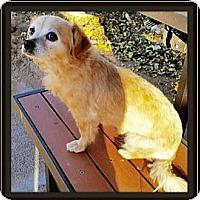 Adopt A Pet :: Amber - West Los Angeles, CA