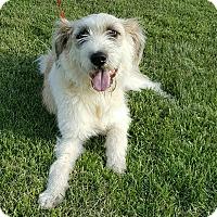 Adopt A Pet :: Brie - Glastonbury, CT