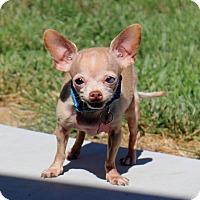 Adopt A Pet :: Mousey - Sacramento, CA