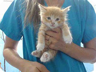 Domestic Mediumhair Kitten for adoption in San Bernardino, California - URGENT NOW (San Bernardino)