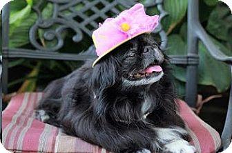 Pekingese Dog for adoption in Richmond, Virginia - Tinsel