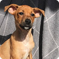Chihuahua/Terrier (Unknown Type, Small) Mix Puppy for adoption in CUMMING, Georgia - Joe