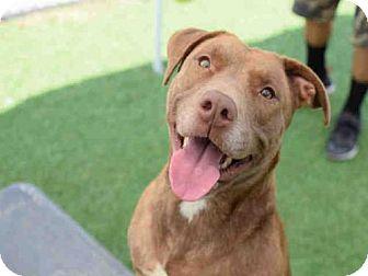 Labrador Retriever Mix Dog for adoption in Atlanta, Georgia - KARMA