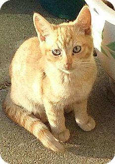 Domestic Shorthair Kitten for adoption in Alamo, California - Peanut