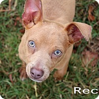 Chihuahua/Terrier (Unknown Type, Small) Mix Dog for adoption in Texarkana, Arkansas - Recall