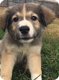 Husky/Shepherd (Unknown Type) Mix Puppy for adoption in CUMMING, Georgia - Maycee