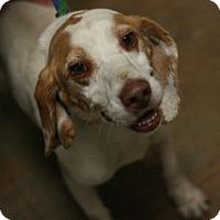 Beagle Dog for adoption in Canoga Park, California - Joey