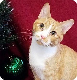 Domestic Shorthair Kitten for adoption in Colfax, Iowa - Akela