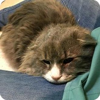 Domestic Mediumhair Cat for adoption in Janesville, Wisconsin - Bunny Foo Foo