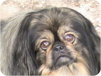 Pekingese Dog for adoption in Richmond, Virginia - Toby