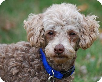 Poodle (Miniature) Dog for adoption in Providence, Rhode Island - Lacy