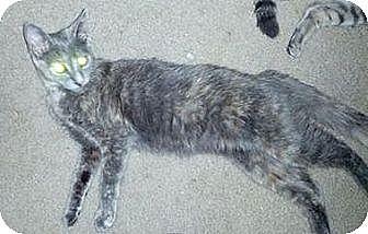 Domestic Mediumhair Cat for adoption in Phoenix, Arizona - Princess