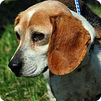 Adopt A Pet :: Ginger Ridgley - Waldorf, MD