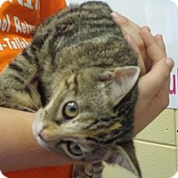 Adopt A Pet :: Tiger Lily - Crawfordville, FL