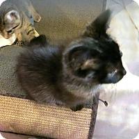 Adopt A Pet :: Gaige - Geneseo, IL