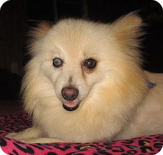 Pomeranian Dog for adoption in Waldron, Arkansas - TURBO BARLEY