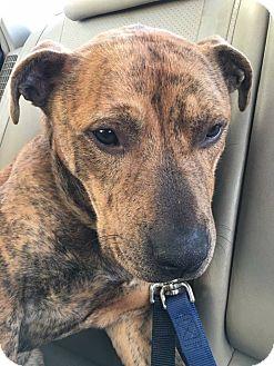 Shepherd (Unknown Type)/Terrier (Unknown Type, Medium) Mix Dog for adoption in Chicago, Illinois - Camden