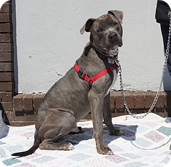 Weimaraner/Mastiff Mix Dog for adoption in Mt Vernon, New York - Tip