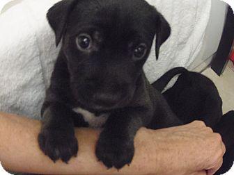Labrador Retriever/Labrador Retriever Mix Puppy for adoption in Hollywood, Florida - PUPP#1