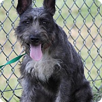 Standard Schnauzer/Terrier (Unknown Type, Medium) Mix Dog for adoption in Spring, Texas - Scooby
