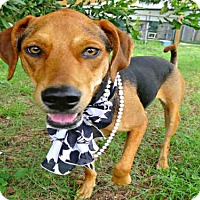 Treeing Walker Coonhound Mix Dog for adoption in Tavares, Florida - TANGERINE
