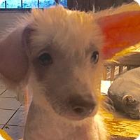 Adopt A Pet :: Vincent - Tucson, AZ