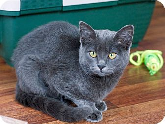 Russian Blue Kitten for adoption in Troy, Michigan - Miss Sammy