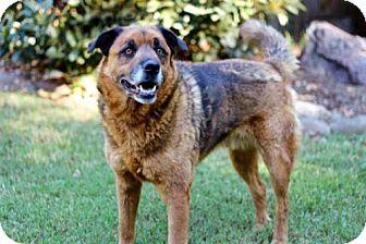 Golden Retriever/Great Pyrenees Mix Dog for adoption in Washington, D.C. - TEDDY BEAR