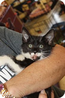 Domestic Shorthair Kitten for adoption in Louisville, Kentucky - Gabby