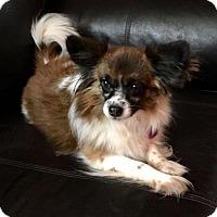 Papillon Dog for adoption in Edmond, Oklahoma - Lady Bug