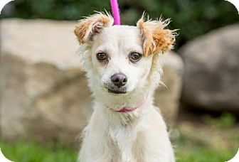 Chihuahua/Dachshund Mix Puppy for adoption in San Diego, California - Poussey
