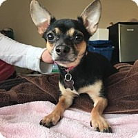Adopt A Pet :: Violet - Chicago, IL