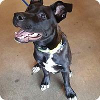 Adopt A Pet :: Vader - Santa Clarita, CA