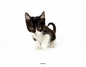 Domestic Shorthair Kitten for adoption in New York, New York - Pumpkin