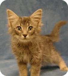 Domestic Mediumhair Kitten for adoption in Sacramento, California - Dusty