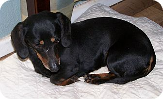 Dachshund Dog for adoption in San Angelo, Texas - Rosey