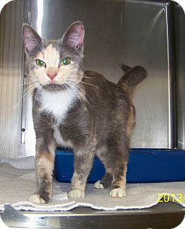 Domestic Shorthair Cat for adoption in Dover, Ohio - Nova
