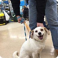 Adopt A Pet :: Sugar - Richmond, VA